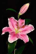 Фотографии Лилии Крупным планом Черный фон Розовая Бутон Цветы