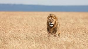 Фото Львы Поля Африка Животные