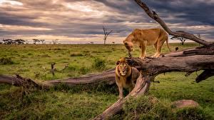 Картинка Львы Львица Африка Ствол дерева Трава Животные Природа