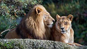 Картинки Львы Львица 2 Животные