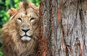Обои Львы Морда Ствол дерева