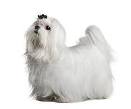 Фотография Мальтезе Собаки Белый фон Белый Животные