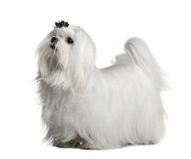 Фотография Мальтезе Собаки Белом фоне Белых животное