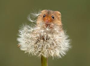 Картинка Мыши Одуванчики Вблизи Цветной фон Eurasian harvest mouse
