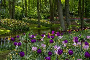 Фото Нидерланды Парк Весенние Пруд Тюльпан Деревья Keukenhof Gardens Природа