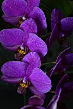 Картинка Орхидеи Крупным планом На черном фоне Фиолетовые Цветы