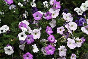 Картинка Петуния Крупным планом цветок