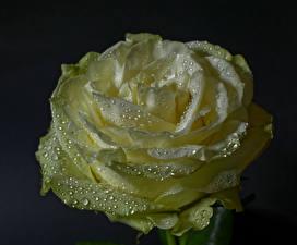 Картинки Роза Крупным планом На черном фоне Капель Цветы
