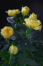 Фотографии Розы Крупным планом На черном фоне Желтый Цветы