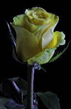 Фото Розы Крупным планом Черный фон Желтый Цветы