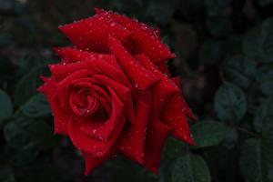 Фото Розы Крупным планом Красные Капель Цветы
