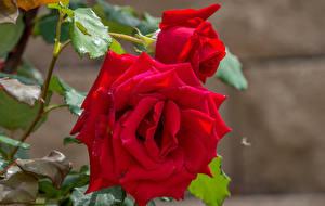 Фотография Розы Вблизи Красные Двое цветок