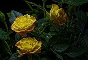 Картинки Розы Крупным планом Трое 3 Желтый Цветы