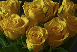 Фотографии Розы Крупным планом Желтый Цветы