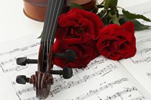 Фотография Роза Ноты Трое 3 Бордовый Цветы