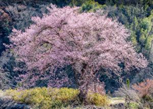 Фото Весенние Цветущие деревья Сакуры Природа