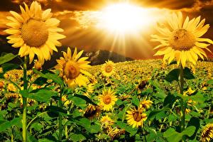 Фотография Подсолнечник Рассветы и закаты Поля Лучи света Цветы