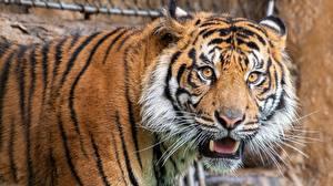 Фото Тигр Смотрит Морды Животные