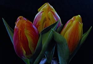 Фото Тюльпаны Вблизи На черном фоне Трое 3 Цветы