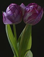 Фотографии Тюльпаны Крупным планом На черном фоне Вдвоем цветок