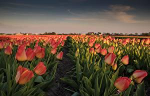 Фотографии Тюльпаны Поля Цветы