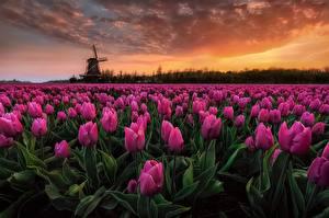 Фотографии Тюльпан Поля Нидерланды Вечер Розовый Цветы