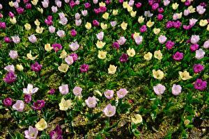 Фотография Тюльпаны Много Разноцветные