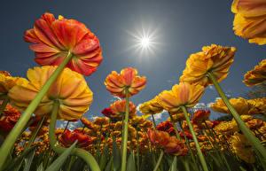 Фото Тюльпаны Солнце Вид снизу Цветы