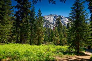 Картинка Штаты Парки Горы Леса Ель Трава Sequoia National Park