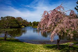 Обои США Парки Пруд Цветущие деревья Ель Missouri Botanical Garden