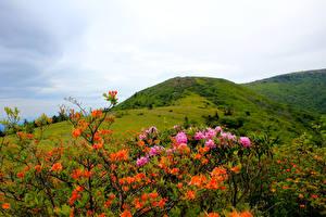Фотография Штаты Парк Рододендрон Холмы Кусты Carolina Roan Mountain Rhododendrons Природа