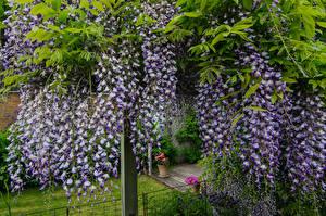 Картинки Вистерия Фиолетовый цветок