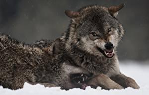 Фото Волки Клыки Злость Двое животное