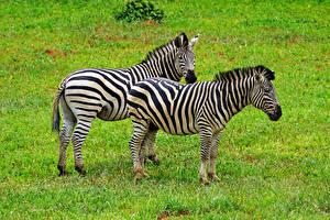 Фотографии Зебры 2 Трава Животные