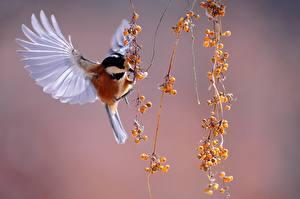 Картинка Ягоды Птицы Синицевые Летящий Крылья Varied tit животное