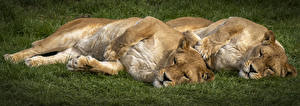 Обои Большие кошки Львы Львица 2 Сон животное