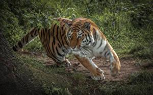 Картинки Большие кошки Тигр Бег животное
