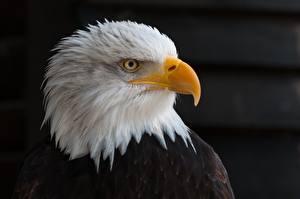 Фотография Птица Орлы Смотрят Клюв Голова На черном фоне Белоголовый орлан Животные