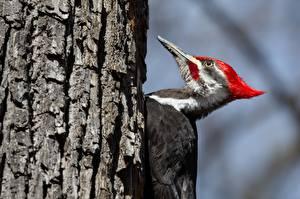 Фотографии Птицы Дятлы Ствол дерева Pileated Woodpecker Животные