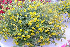 Картинки Калибрахоа Желтых Цветы