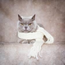 Фото Кошки Британская короткошёрстная Серая Шарфом животное