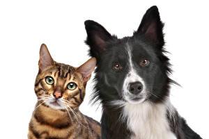 Фотография Кот Собаки Бенгальская кошка Белом фоне 2 Смотрят Бордер-колли Животные