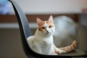 Картинка Кошка Смотрит Стулья