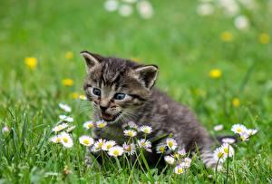 Картинка Коты Котенок Трава Миленькие Животные