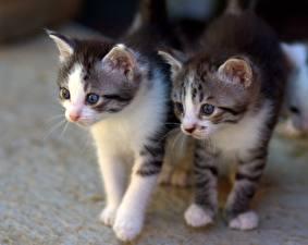Фото Кошки Двое Котят Смотрят животное