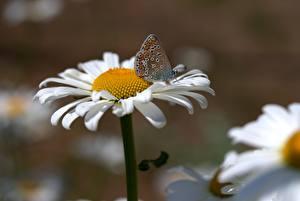 Фотография Вблизи Бабочка Ромашки цветок