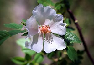 Картинка Крупным планом Лепестки Белые Dogrose цветок