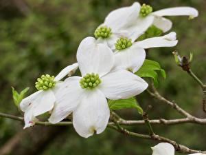Обои Вблизи Ветвь Белый Dogwood Цветы