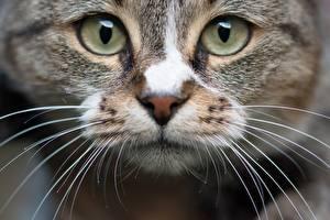 Картинки Крупным планом Глаза Коты Смотрит Морды Усы Вибриссы Животные