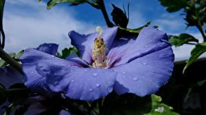 Фотографии Крупным планом Гибискусы Капли Синяя Hibiscus Syriacus